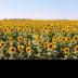 © Theresa Marie Jones PhotoID # 15846004: Sunflowers #2
