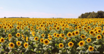 Sunflowers #2