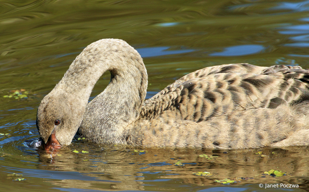 Cygnet Feeding in Afternoon