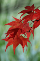 Japanese maple leaves in late autumn #2