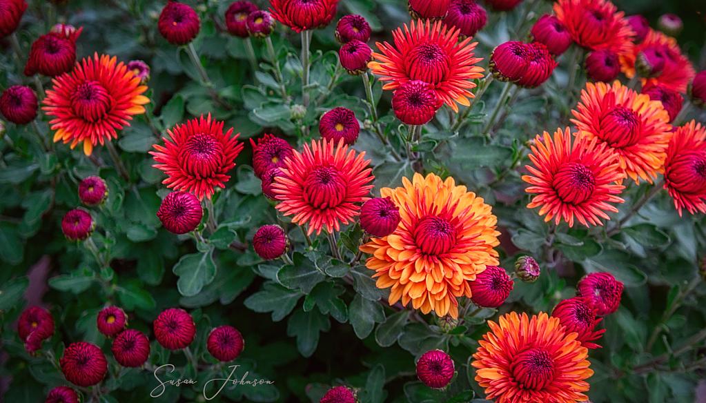 Garden Mums - ID: 15846022 © Susan Johnson