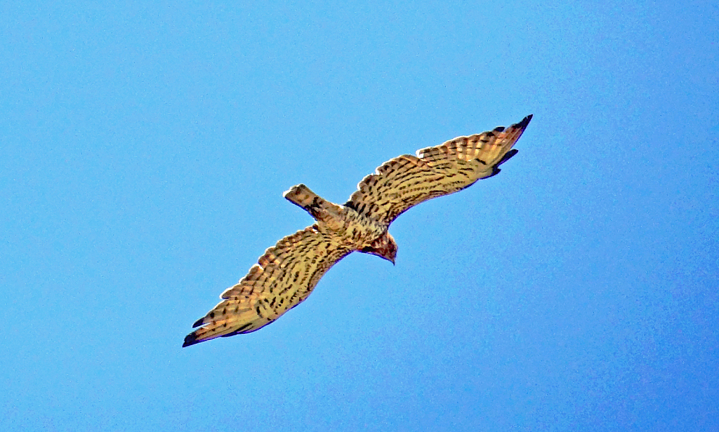 Falcon in flight.