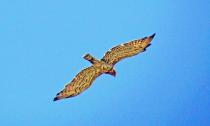 Falcon in flight.