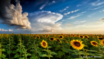 Storm forming over sunflowers