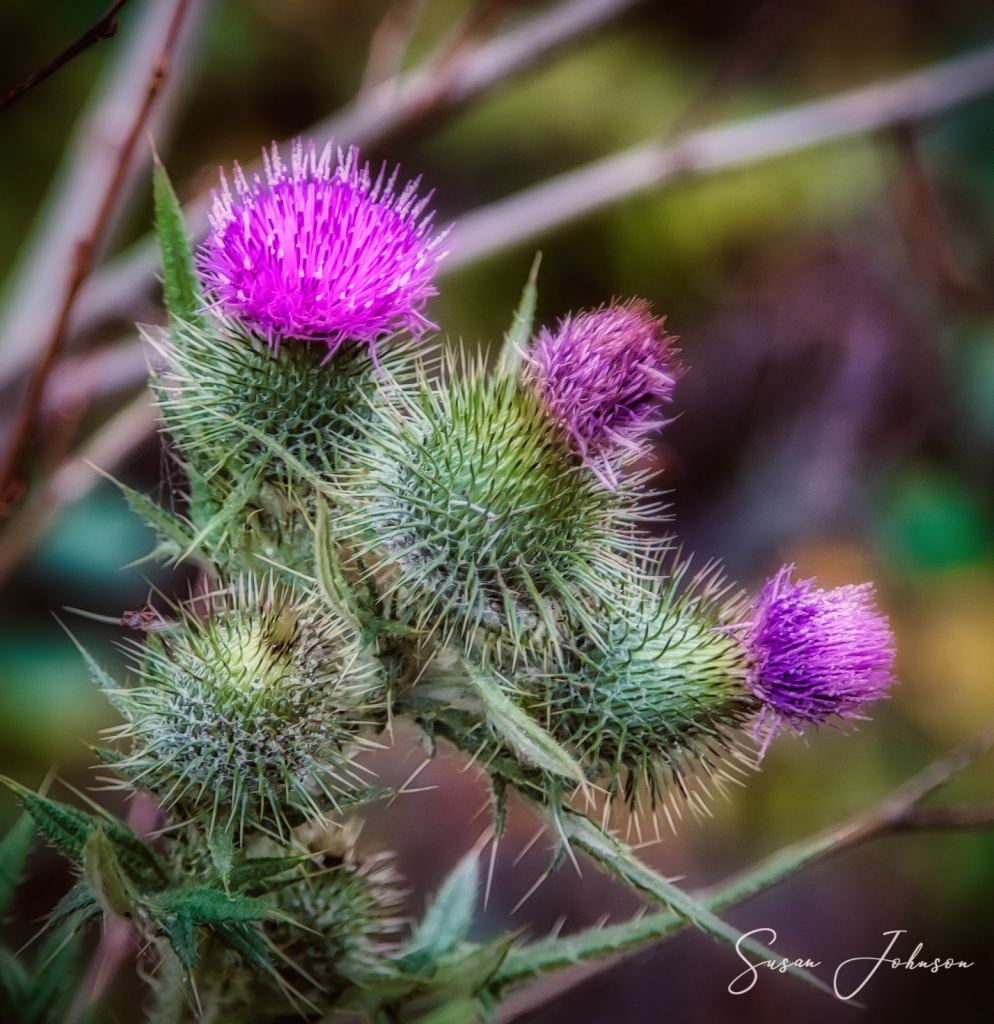 Wild Thistle - ID: 15846694 © Susan Johnson