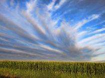 Beautiful Sky Over A Cornfield