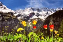 Tulips and SwissAlps