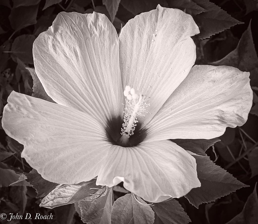 Hibiscus - ID: 15847468 © John D. Roach