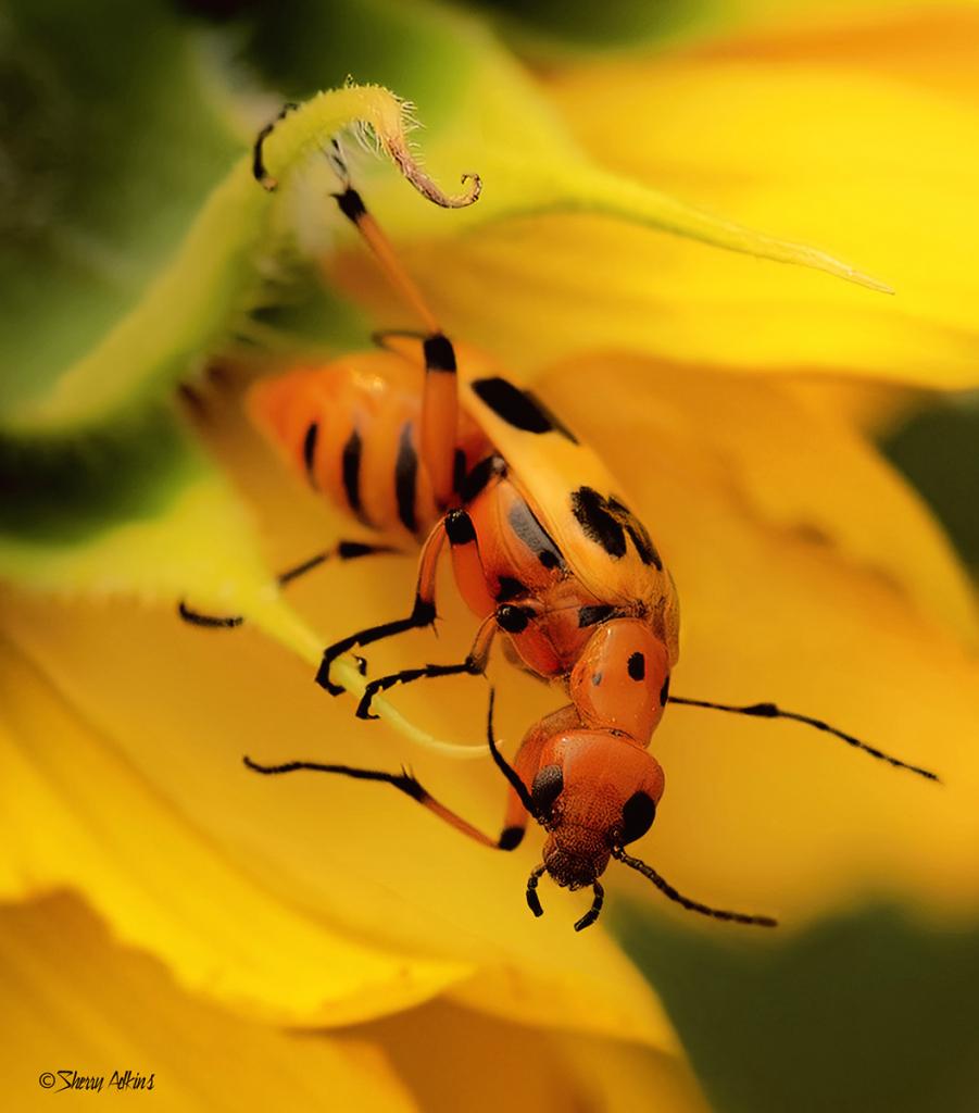 Bug in Sunflower