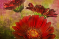 Painted Gerbera