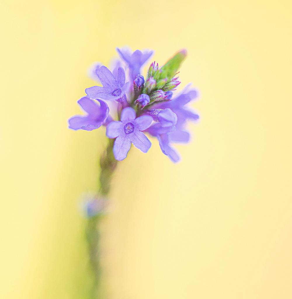 Blue Wildflower
