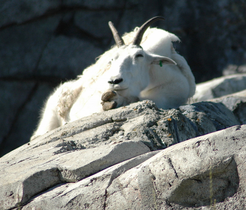 Snoozing Mountain Goat!