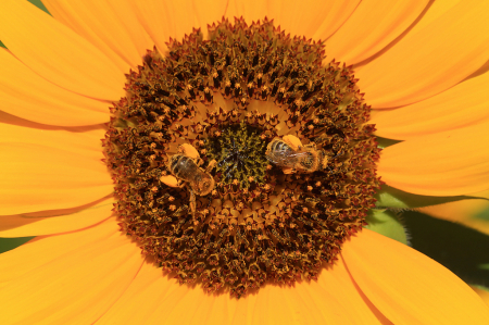 Sunflower Detail and Two Bees
