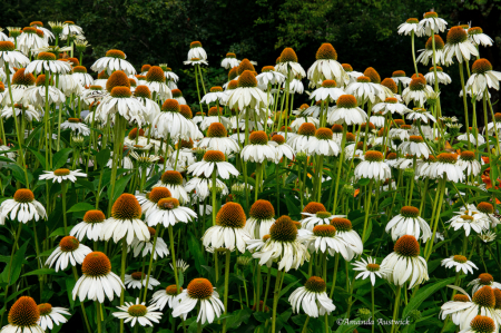 Hillside of Cone Flowers