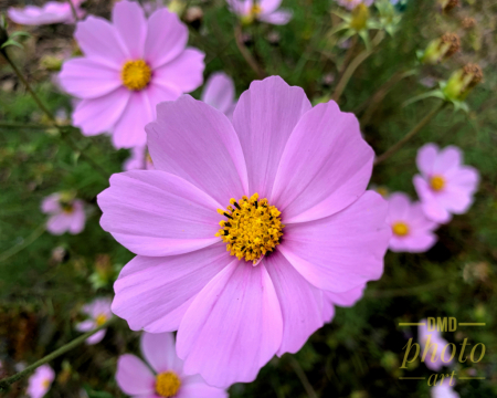 ~ ~ COSMOS PINK ~ ~