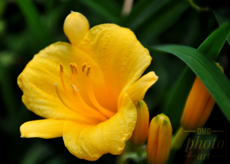 ~ ~ YELLOW DAY LILY ~ ~