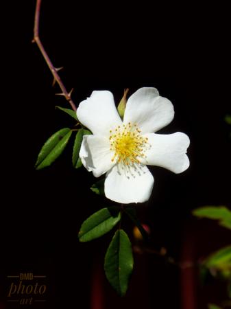 ~ ~ WILD ROSE ~ ~