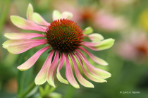 Green Twister Coneflower 2