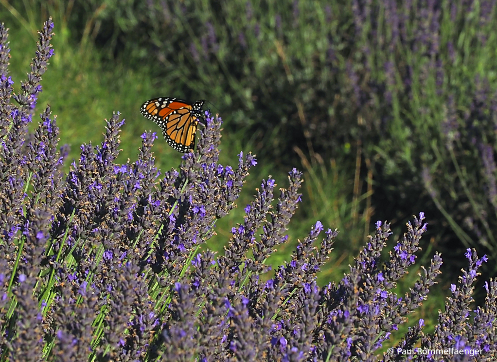 Lavendar and Butterfly 2