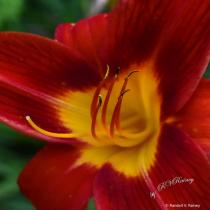 Crimson Day Lilly #2 Macro