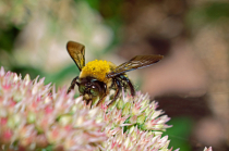 A Bee Polinating a Seedum Flower