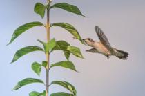 Hummingbird Goes for the Little Orange Fly