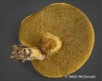 Pored Mushroom - Underside