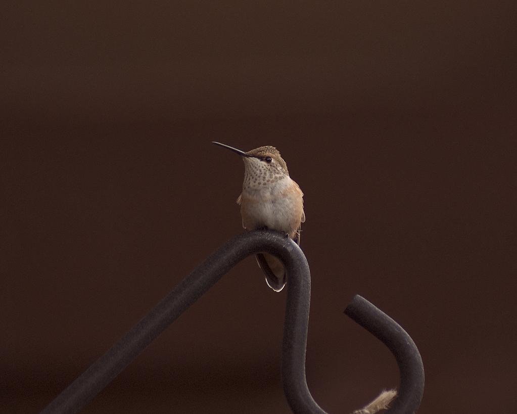 Halted Hummingbird