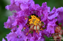 Crape Myrtle in Bloom Macro