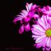 Many shades of pink.... - ID: 15851354 © Rita Jane Smith