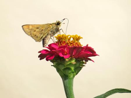 Single Moth