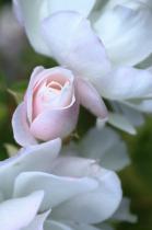 Whitish roses