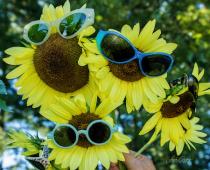 Sunflower Goodmornin