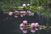 Waterlilies and Dreams