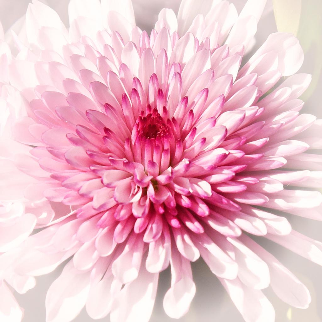 Chrysanthemum Color