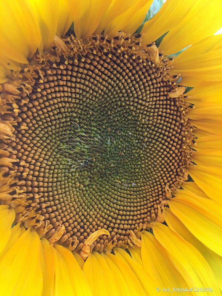 Pollen disk