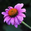 More Echinacea