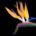 © Cheryl Pipher PhotoID # 15852207: Bird of Paradise 2