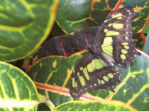 Butterfly - camo
