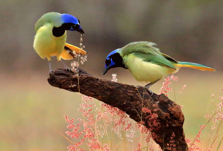 Two Green Jays