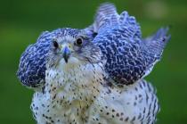 Gyr Falcon Fluffed Up