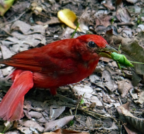 Happy Summer Tanager