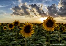 Sun peaking through sunflowers