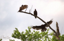 A Gathering Of Vultures