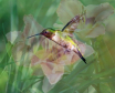 Hummingbird and d...