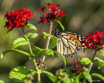 Monarch Closeup