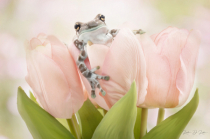 Milk Frog and Pink Tulips