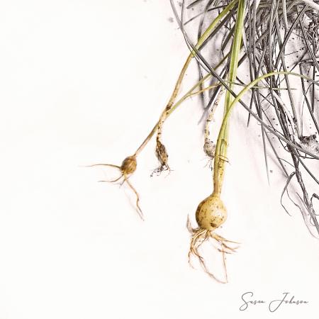Onion Weeds