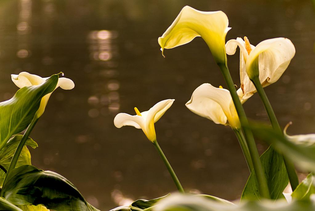 Lakeside Lillies