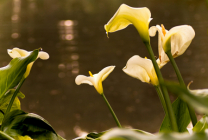 Lakeside Lillies
